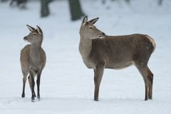 Red deer female standing with calf in the winter Stock Photography