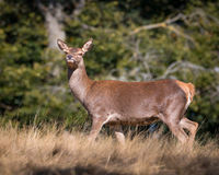 Red deer. Female red deer standing on a top of a hill Stock Image