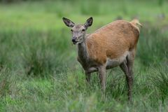 Red deer female on the summer meadow. Red deer female on the meadow in the summer, cervus elaphus Royalty Free Stock Photography