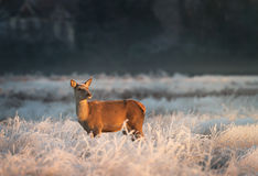 Red Deer female in winter Royalty Free Stock Photography