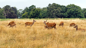 Red deer females with young, one suckling. Cervus elaphus. Stock Photos