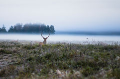 Red deer on the field early in a foggy morning during the rut. B Royalty Free Stock Image