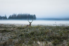 Red deer on the field early in a foggy morning during the rut. B Royalty Free Stock Photography