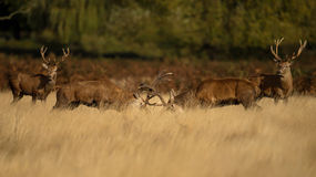 Red Deer fighting Stock Photography