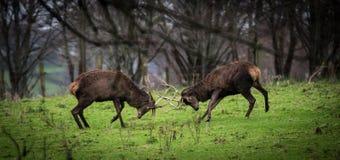Red deer fighting Stock Photo