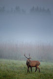 Red deer on foggy morning Royalty Free Stock Photo