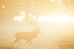 Red deer in foggy sunrise Autumn Fall forest and countryside lan Stock Photos
