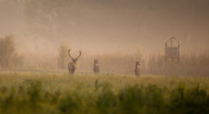 Red deer following hinds. In forest on foggy morning in mating season in late summer. Wildlife in natural habitat Stock Images
