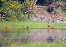 Red deer following hinds. In river and forest in mating season in late summer Stock Photo
