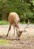 Red deer foraging for acorns Stock Photography