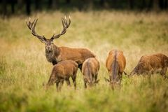 Red deer in maedow. Red Deer into forest at autumn Stock Images