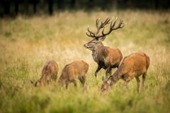 Red deer in maedow. Red Deer into forest at autumn Stock Photos