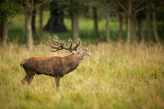 Red deer in maedow. Red Deer into forest at autumn Royalty Free Stock Image
