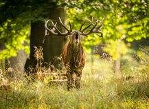 Red deer in maedow. Red Deer into forest at autumn Stock Image