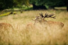 Red deer in maedow. Red Deer into forest at autumn Royalty Free Stock Photos