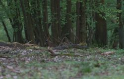 Red deer in the forest.Fallow deer in the grass. Big and beautiful red deer royalty free stock images