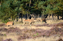 Red deer in the forest Stock Photography