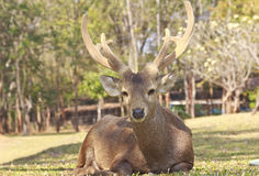 Red deer on a forest marge.  royalty free stock image