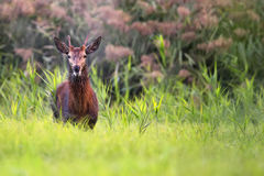 Red deer in the forest Stock Photos