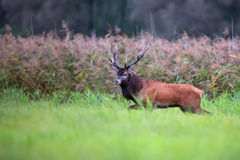 Red deer in the forest Royalty Free Stock Photo