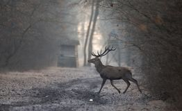 Red deer in forest in winter time. Red deer with antlers walking in forest on cold winter day. Watchtower in background. Wildlife in natural habitat royalty free stock image