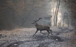 Red deer in forest in winter time. Red deer with antlers walking in forest on cold winter day. Watchtower in background. Wildlife in natural habitat royalty free stock photos