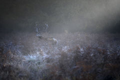 Red deer in a frosty morning Stock Photos