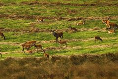 Big Herd of Red Deer during the rut. Red Deer gather together during the rut which brings out the big stags to fight for dominance & territory Stock Image