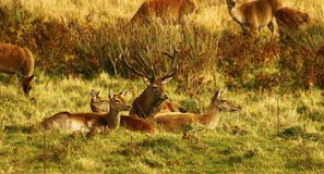 Big Herd of Red Deer during the rut. Red Deer gather together during the rut which brings out the big stags to fight for dominance & territory Royalty Free Stock Image