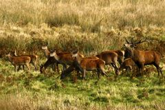Big Herd of Red Deer during the rut. Red Deer gather together during the rut which brings out the big stags to fight for dominance & territory Royalty Free Stock Images