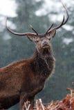 Red Deer - Glen Etive Royalty Free Stock Photo