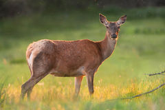 Red deer in golden sunset Royalty Free Stock Photography
