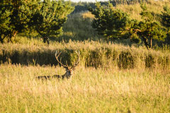 Red deer in grassy field Stock Image