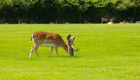 Red deer grazing with antlers New Forest England UK Royalty Free Stock Photos