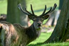 Red deer grazing in the spring. A herd of red deer Cervus elaphus grazing in the spring sunshine stock images