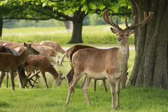 Red Deer Grazing Royalty Free Stock Photo
