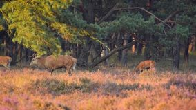 Red Deer grazing stock video footage