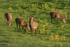 Red deer grazing. At sunset Royalty Free Stock Photos