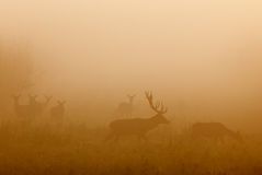 Red deer with group of hind in fog Stock Photography