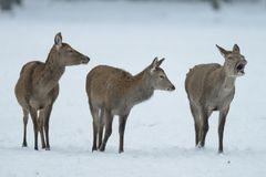 Red deer group standing in the winter Royalty Free Stock Image