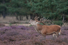 Red Deer grunt. A Red Deer posing in a meadow grunting Royalty Free Stock Image
