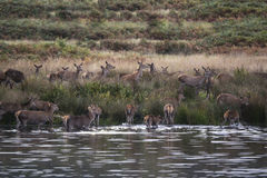 Red deer harem during Autumn rut being forced into lake by stag Stock Photos