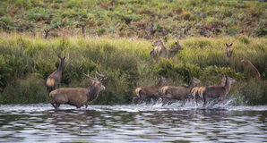 Red deer harem during Autumn rut being forced into lake by stag Stock Images