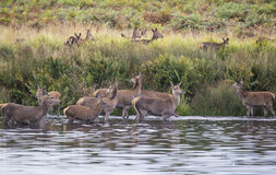 Red deer harem during Autumn rut being forced into lake by stag Stock Photography
