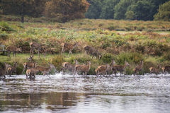 Red deer harem during Autumn rut being forced into lake by stag Royalty Free Stock Photos