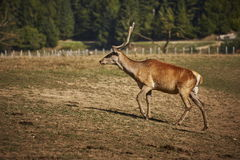 Red deer hart Stock Photography