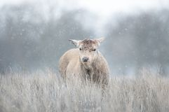Red deer having recently shed his antlers in winter. Close-up of a Red deer having recently shed his antlers in winter, UK stock image
