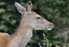Red Deer Head Stock Photos