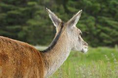 Red Deer Head Stock Image
