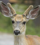 Red deer head with green background. Jasper. Canada Stock Photos